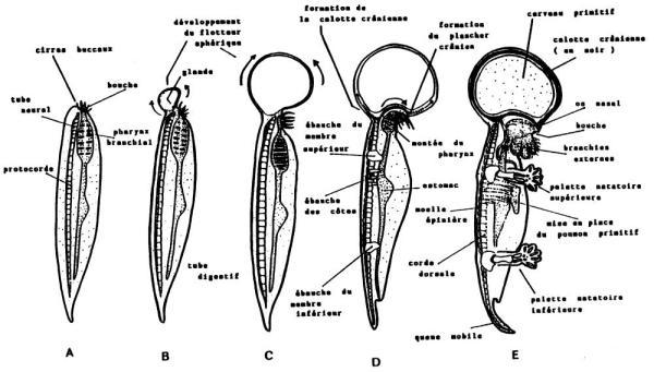 Serie filogenética del pre-homínido acuático (homonculus marino) que muestra la confección del encéfalo humano.